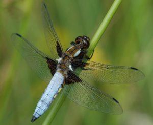 wildlife pond dragonfly